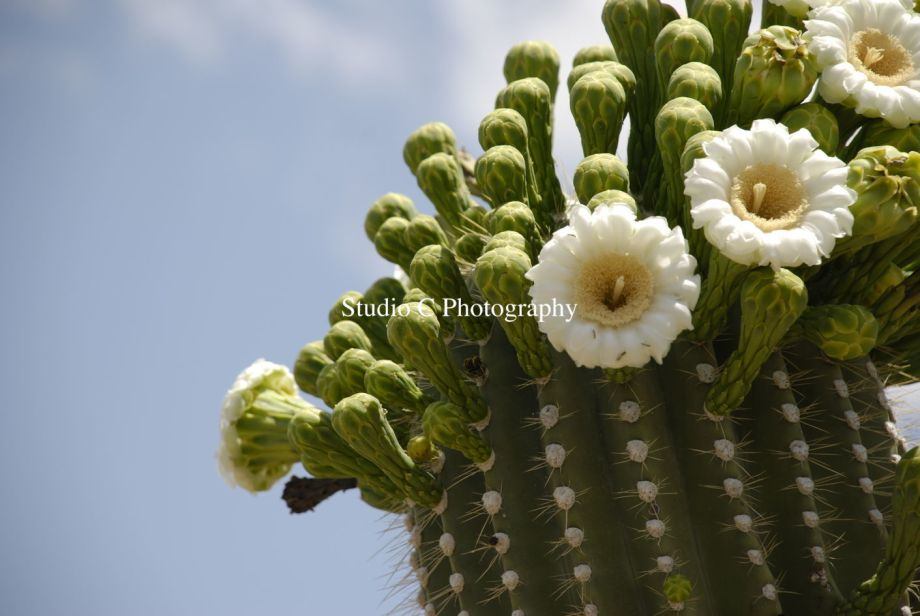 Saguaro Flower 2